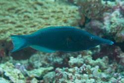 BD-130711-Maldives-0229-Gomphosus-caeruleus.-Lacepède.-1801-[Green-birdmouth-wrasse].jpg